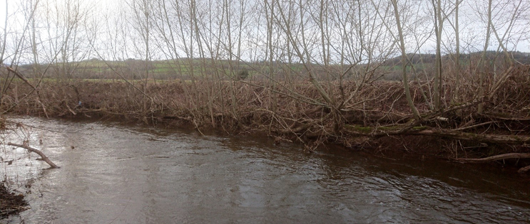 The revetment in December 2019, five years after installation. The willows have shored up the river bank and no provide important habitat and cover for fish.