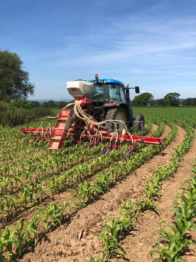 Under-sowing maize
