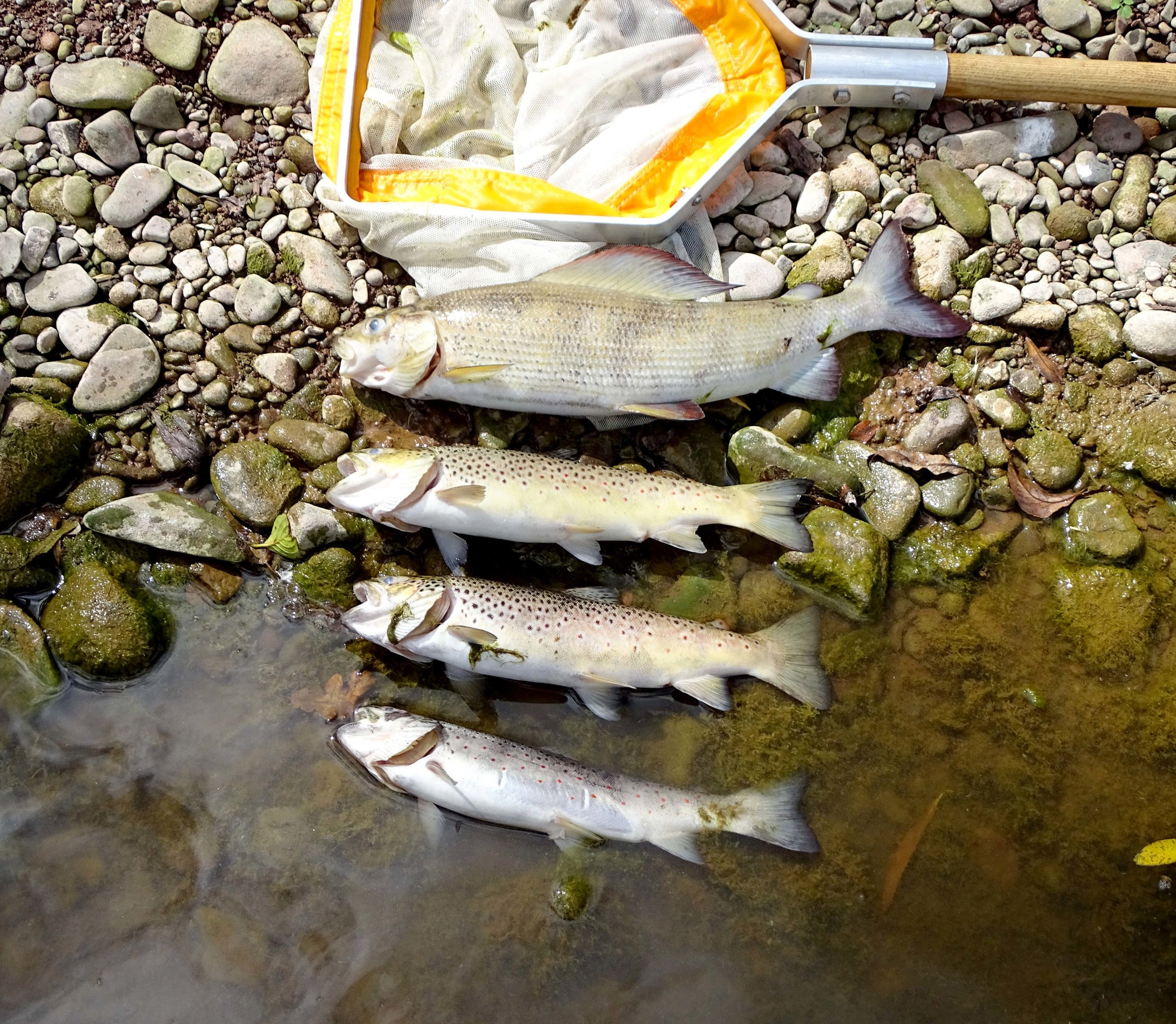 Some of the dead trout and grayling from the Llynfi on Saturday.