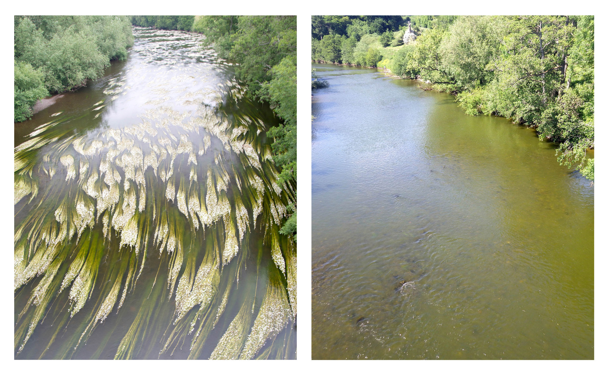 Left: The Wye at Bridge Sollers, a few miles upstream of Hereford, in July 2013 showing clear water and extensive beds of ranunculus. Right: Early June this year. The photo clearly shows the algal bloom and, although earlier in the year, a significan