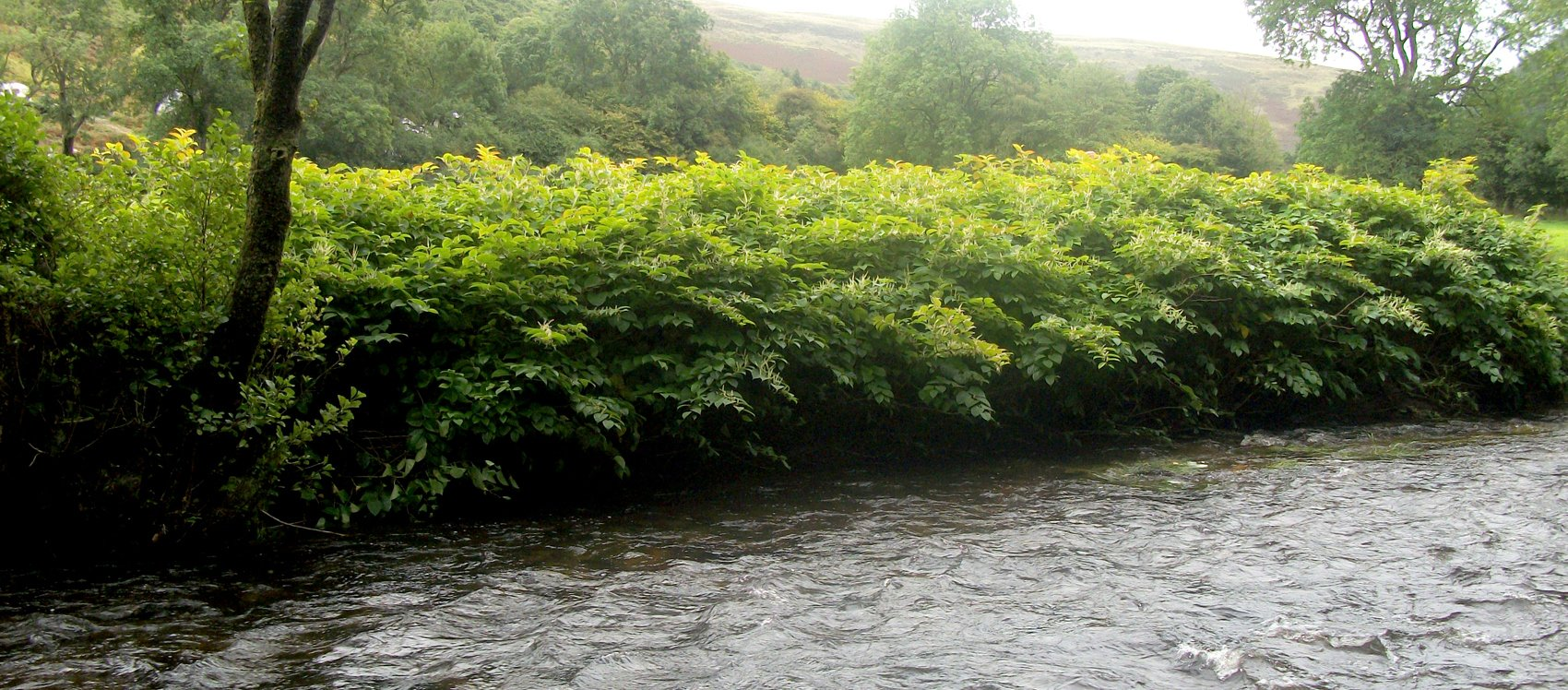 Japanese Knotweed (Fallopia japonica) on riverbank